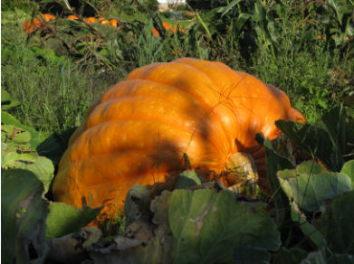 Pumpkin in field at Dill's Farm in Nova Scotia, used with permission