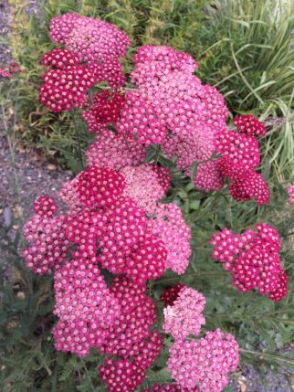 Yarrow is an outstanding dried flower; the rose color will fade to a light pink