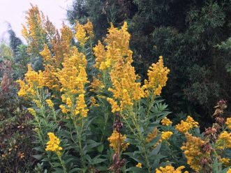A great native Goldenrod