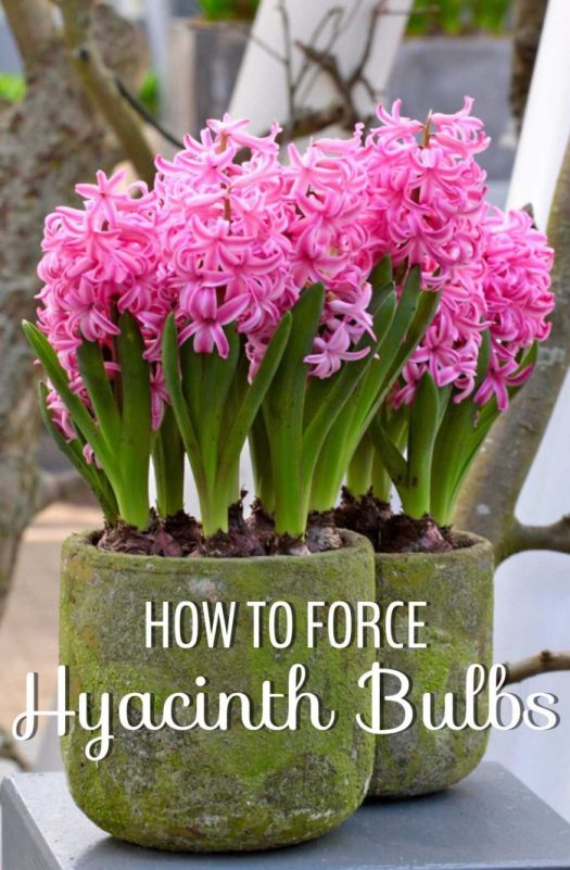 For how-to on forcing Hyacinths for indoor bloom, go to
