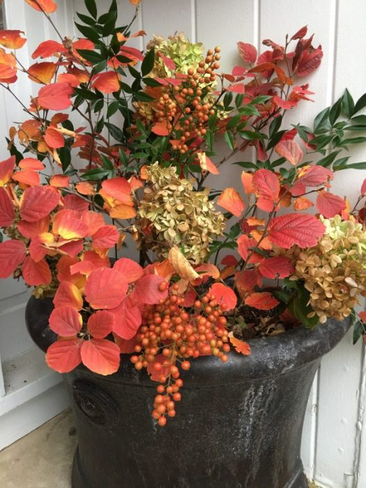 A beautiful fall arrangement of orange Fothergillia foliage, Nandina berries, Hydrangeas - done by Sally Barker