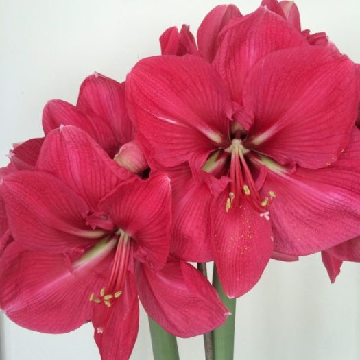 'Red Lion' Amaryllis in full bloom