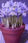 Miniature Iris in a pot
