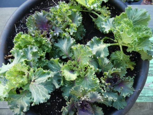 Plant pansies or fall cabbages on top for extra insulation