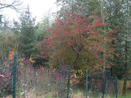 Deciduous hollies are fenced because of deer