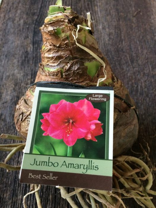 A jumbo Amaryllis is about