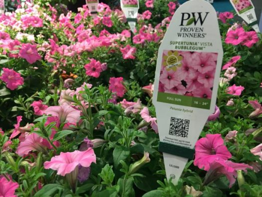 Proven Winners Supertunia 'Bubblegum'