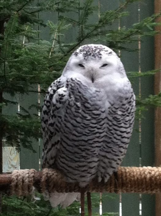 You might be luck enough to spot a snowy owl!
