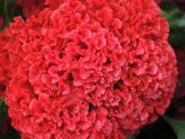 Good for drying, crested celosia has a fascinating bloom