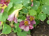 Edible nasturtiums are easy to grow