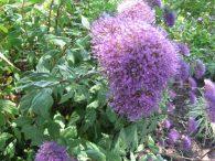 Blue Lace Flower
