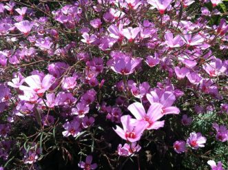 Unusual on the east coast, Clarkia is an annual that does better on the west coast
