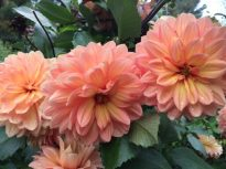 Pam Howden is a beautiful peach tinged with yellow, seen at Longwood Gardens