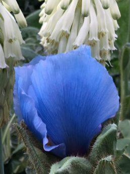 Himalayan blue poppy the garden diaries img4557 mightylinksfo