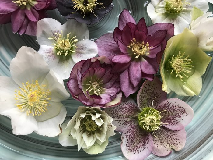 Lenten Roses or Hellebores are the plant that keeps givng