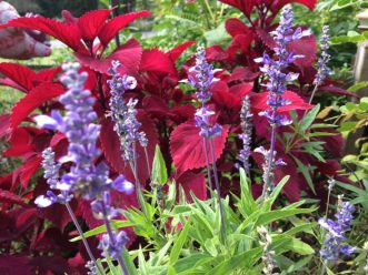 Blue annual salvia
