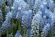 Grape Hyacinth Valerie Finnis