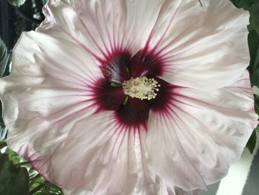 Hardy Hibiscus Blooming Powerhouse The Garden Diaries