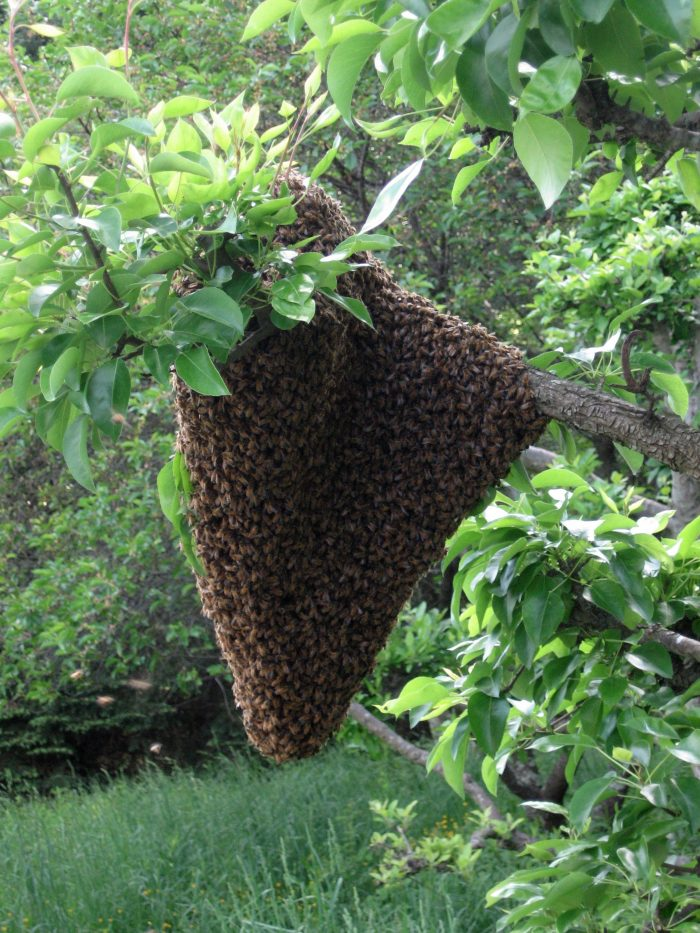 A bee swarm is a thing of beauty