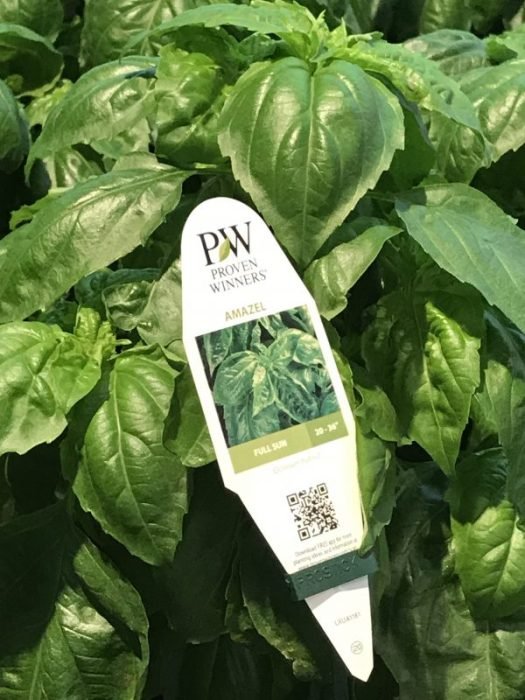 'Amazel' is a new downy mildew resistant Basil