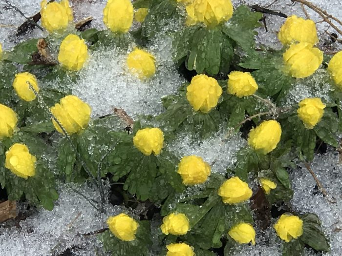 Winter aconites pushing up through the snow