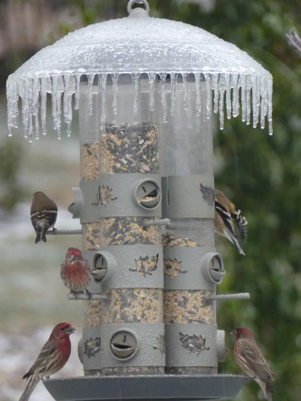 Birds at my triple tube feeder
