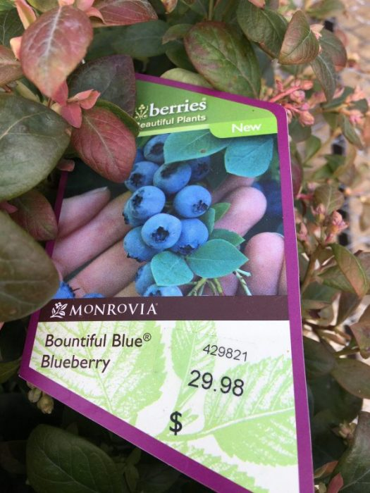Blueberries benefit from acid soil