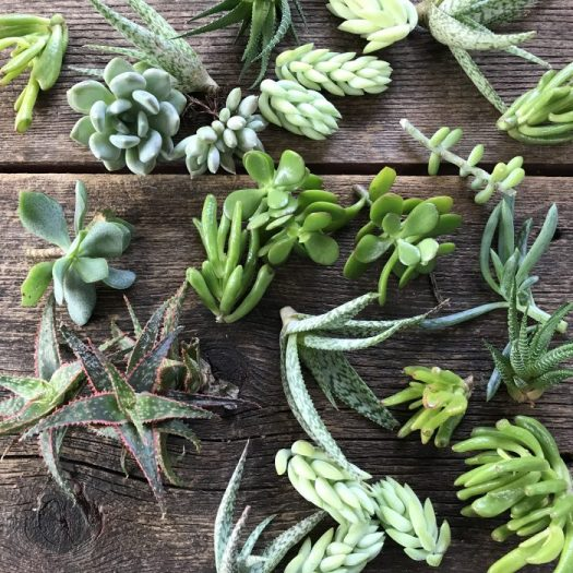Variety of cuttings from my succulent plants