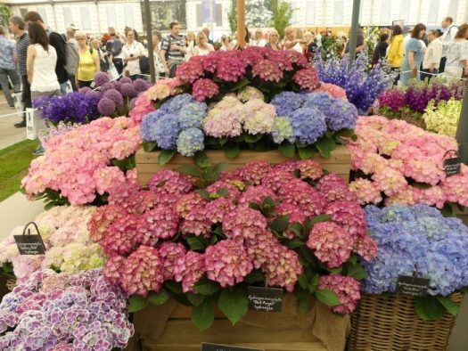 Hydrangeas benefit from coffee grounds