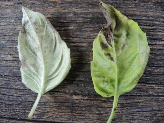 Downy mildew disfigures the entire plant