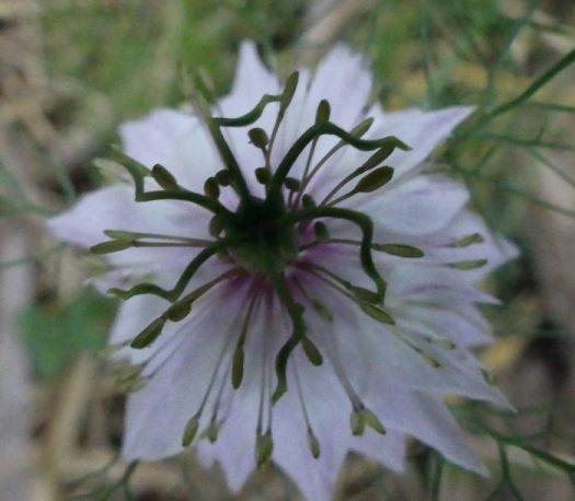 Intricate flower of Love in a Mist