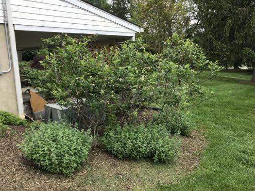 Blueberry Bonanza The Garden Diaries