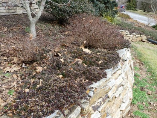 Creeping Phlox on wall in winter creates structure in the garden