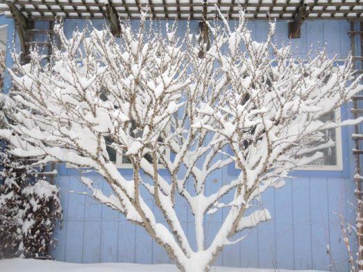 Redbud in winter