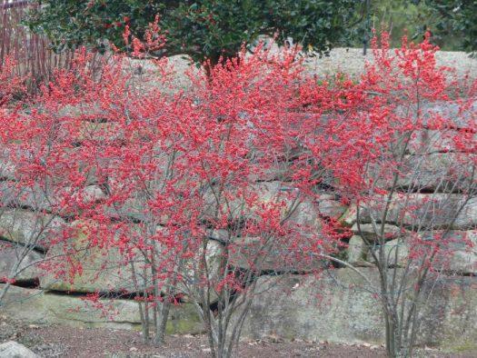 Winterberry Hollies