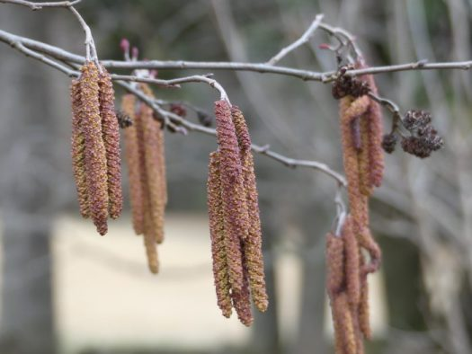 Tag Alder's cones and catkins in winter