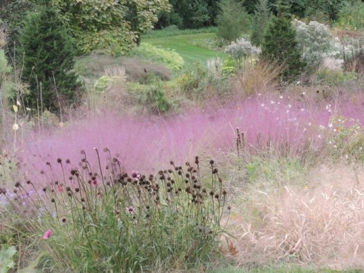 Coneflower seed heads against Pink Muhly Grass