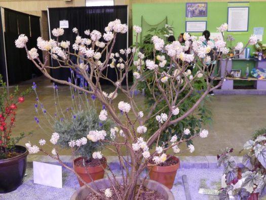 At the Philadelphia Flower Show, Edgeworthia is in full bloom