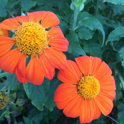 Tithonia or Mexican Sunflower is my all time favorite for butterflies