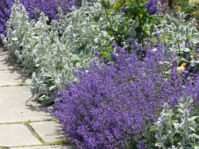 Cascading over a pathway, Catmint works as a great edger