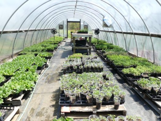 By the end of April, the greenhouses are bursting at the seams