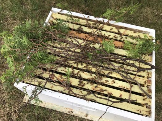 I have laid the arborvitae branch on top of the frames and shake the bees into the box