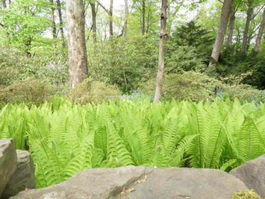 Ostrich Fern can form a quick growing ground cover that deer will avoid