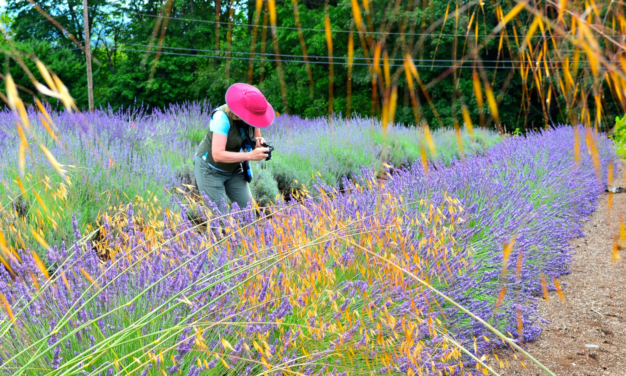 Lavender fields - photo by Helen Battersby
