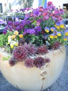 Violas play well with other plants
