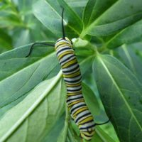 The Monarch Diaries-Rearing Monarchs Egg to Adult (Part 1)