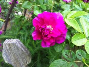 Roseraie de l Hay