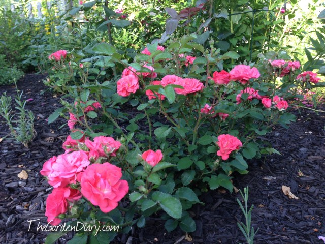 Coral Drift ... I first saw growing in P Allen's herb garden and just had to have!