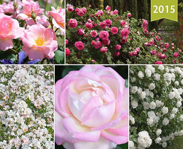 2015_roses