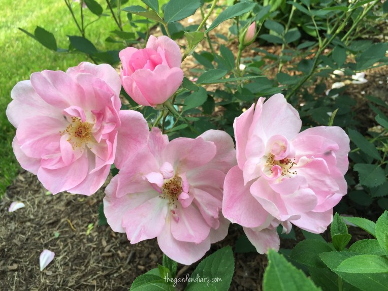 David Austin's The Lady's Blush ... delicate and lovely